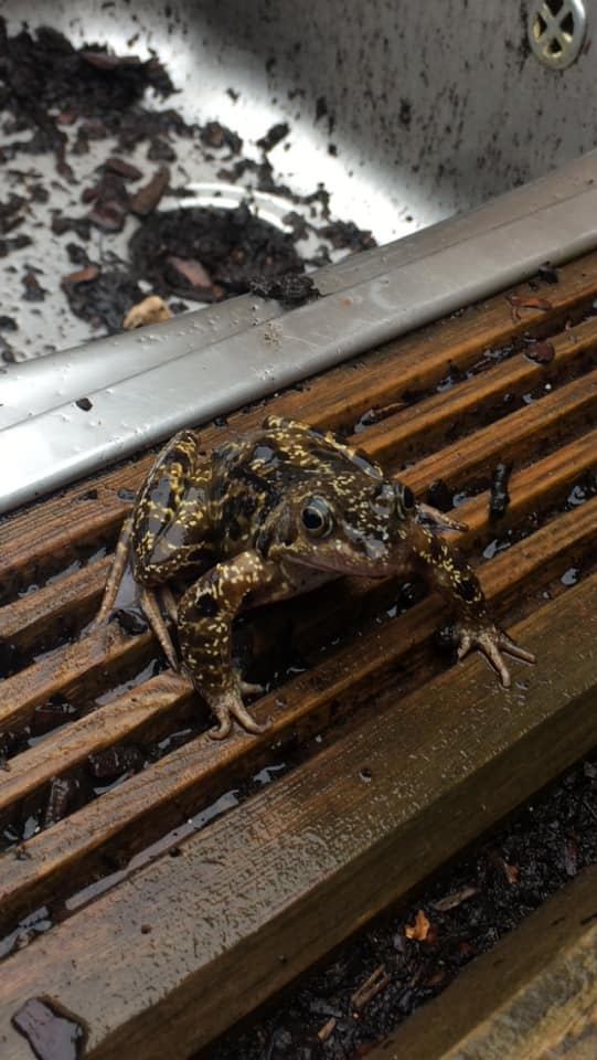 Another Frog At Little Owls Dereham (3)